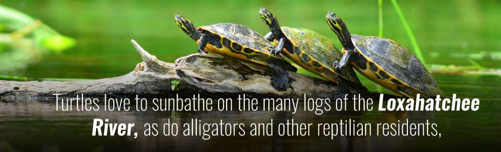Turtles love to sunbathe on the many logs of the locahatchee river, as do alligators and other reptilian residents
